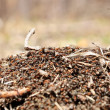 Anthill — Stock Photo #22087673