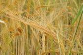 Spike of wheat — Stock Photo