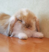 Cute lop eared baby rabbit — Stock Photo