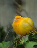 Yellow canary bird — Stock Photo