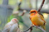 Two canaries — Stock Photo