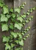 Creeping ivy — Stock Photo