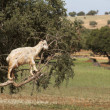 Goat feeding in argan tree. Marocco — Foto Stock