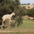Goat feeding in argan tree. Marocco — Stockfoto