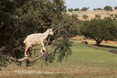 Goat feeding in argan tree. Marocco — Stock Photo
