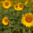 Isolated sunflower with blue sky — Stock Photo #36942321