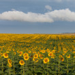 Land with sunflowers with white clouds — Stock Photo