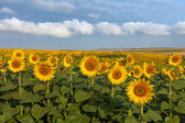 Land with sunflowers with white clouds — Stockfoto
