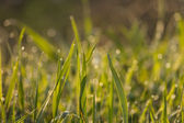 Fresh grass with dew drops close up — Stock Photo