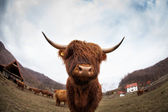 The curious snout of a Swiss cow — Stock Photo