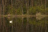 白い白鳥の湖に浮かぶ — ストック写真