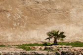 Small palm tree on an old wall — Stock Photo