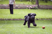 Black dog running after a ball, man playing with dog — Stock Photo