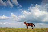 Horse on field with blue sky and white clouds — Stock Photo