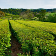 Tea farm - Stock Photo