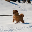 Norfolk terrier on winter walk — Stock Photo