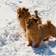 Two Norfolk Terriers - Foto Stock