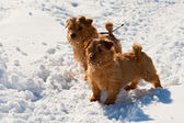 Two Norfolk Terriers — Stock Photo