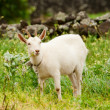 Stock Photo: White goat on a meadow