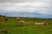 коровы на пастбище — Стоковое фото