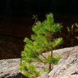 Small pine-tree on a stone — Stock Photo