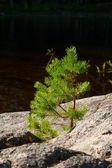 Small pine-tree on a stone — Stock Photo