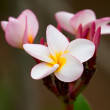 Plumeria — Stock Photo #39550089