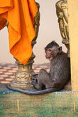 Monkey in the Buddhist temple — Stock Photo