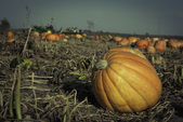 Pumpkins on a Fiels — Photo