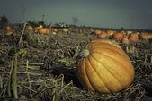 Pumpkins on a Fiels — Stock Photo