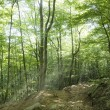 Stock Photo: Morning sun beams in forest