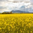 Stock Photo: Landscape with field of yellow flowers