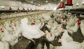 Chicken farm — Stock Photo