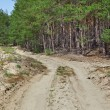 Forestry Road in Pine Wood - Stock Photo