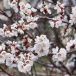 Apricot Blossoms - Stock Photo