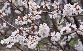 Aprikos blommor — Stockfoto