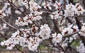 Meruňkový květy — Stock fotografie