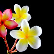 Frangipani — Stock Photo #27581009