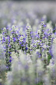 Lavender Farm — Stock Photo