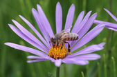 Honey bee collects flower nectar — Stock Photo