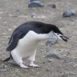 Stock Photo: Chinstrap penguin holding rock. Antarctic island