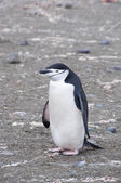 Chinstrap penguin holding rock. Antarctic island — Stock Photo