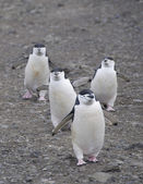 Four chinstrap penguins in Antarctic island — Stock Photo