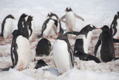 Chinstrap penguins in Antarctic island — Stock Photo