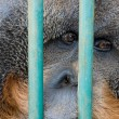 Sad monkey in the zoo — Stock Photo