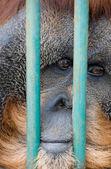 Sad monkey in the zoo — Stock Photo