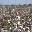 Stock Photo: Cotton-plant field. Uzbekistan