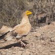 Egyptian Vulture. Socotra island, Yemen — Stock Photo