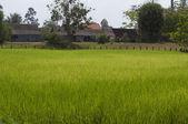 Rice field in Cambodia — Stock Photo