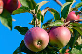 Two apples on a branch with dewdrops — Stock Photo